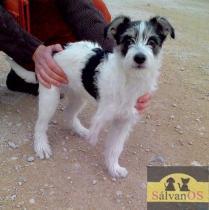 Rakam (Camada Fox Terrier)